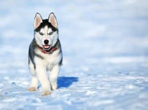 a cute husky
