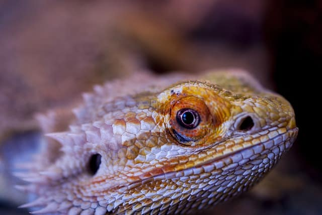 can bearded dragons eat mice