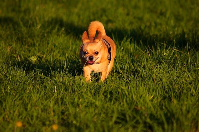 how fast can a chihuahua run