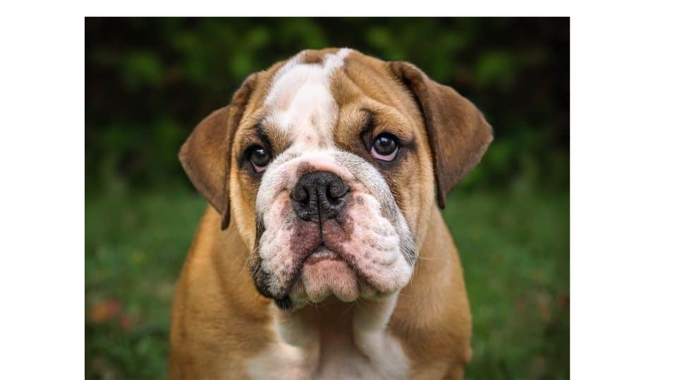Are Bulldogs good pets or dangerous