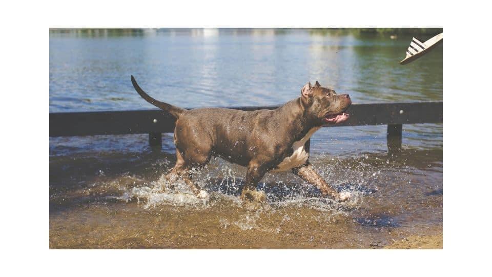 webbed feet pitbull