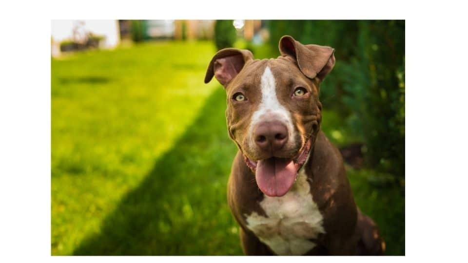 are pitbulls naturally agressive