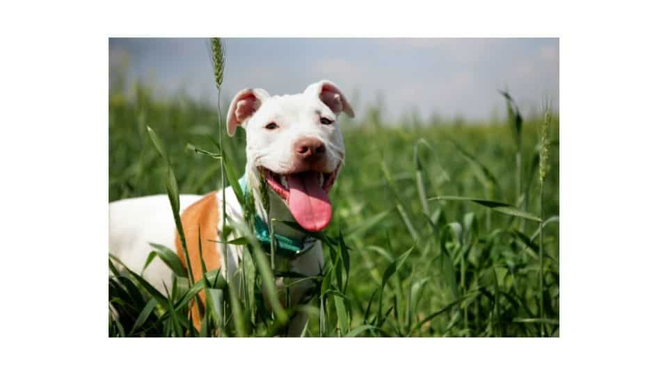 why your pitbull looks small