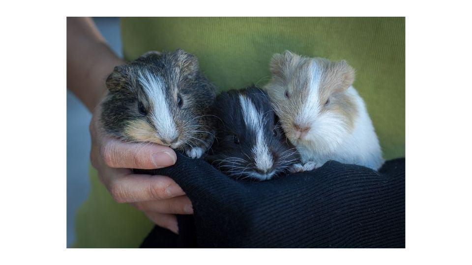 Do guinea pigs get pregnant easily?