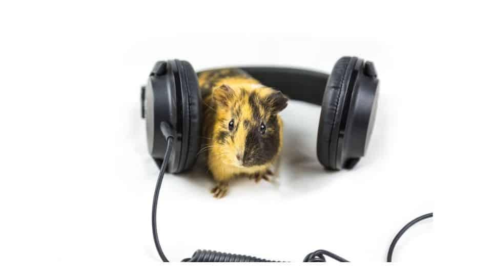 guinea pig music