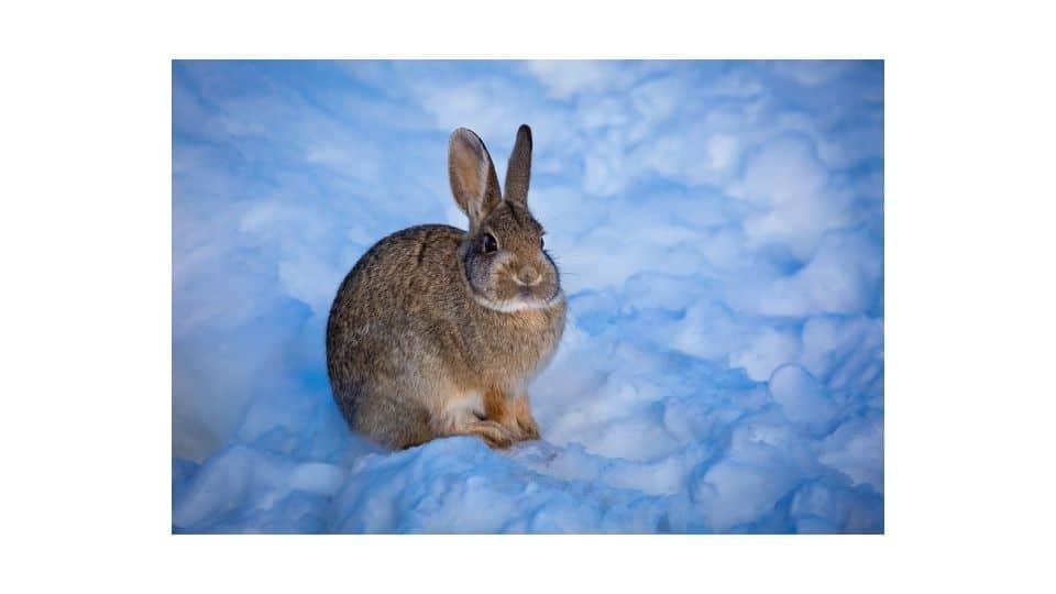 rabbit hibernation