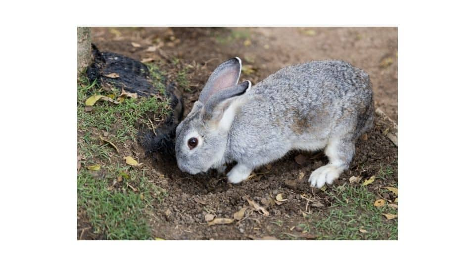 rabbit burrow