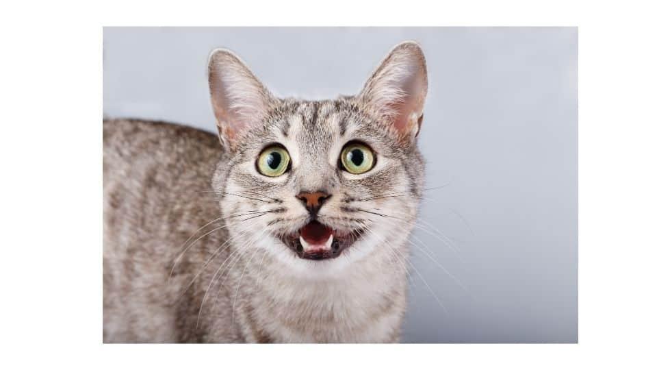 cat not meowing but squeak